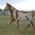 Flashy English Gelding!