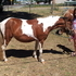 tri colored 2 year old miniature filly