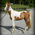NICELY PAINTED RED/WHITE TOBIANO GELDING READY TO START