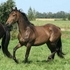 GODIVA***2010 FRIESIAN/TB FILLY