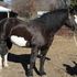 B&W Percheron Paint  Lease or Sale