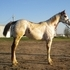 Flashy Stallion Prospect