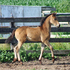 2015 Buckskin Friesian Sporthorse Filly - Elegant with Lovely Movement