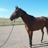 Great Bay TB Gelding For Sale