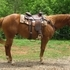 Nicely Built Trail Gelding