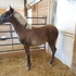 Chocolate Stud Colt