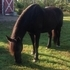 SWEET BLACK MARE FOR SALE OR LEASE