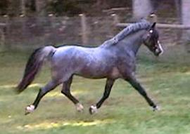Colorful Champion Welsh Pony Stallion at Stud