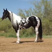 Superior Heading Horse At Stud Only In Tn