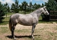 Andalusian Mare saddle and halter trained