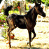 FLASHY ! 2012 BLACK ARABIAN COLT,SIRED BY STRAIGHT EGYPTIAN