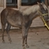 Silver Dapple Rocky yearling !