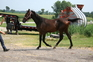 Dutch Harness Horse /Warmblood/Saddlebred colt2012 for sale in United States of America