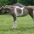 Silver Bay Pinto Miniature Filly
