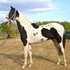 Double Homozygous Saddlebred Stallion