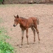 SE/AK Filly ONLY daughter of Ravenwood Khaleem
