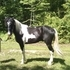 Flashy & Smooth Gaited Trail Horse