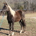 Chocolate Rocky Mt colt with white mane/tail