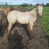 Buttermilk Buckskin  filly