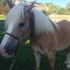 Registered Haflinger Mare