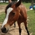 Half Arabian Half Quarter horse filly 3 yrs old