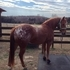 All Around Great Appaloosa/quarter horse gelding, BROKE