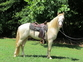 Standing at Stud - Double Agouti Perlino for sale