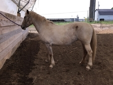 Molly, Percheron Appaloosa cross mare kid/husband safe. Trail horse