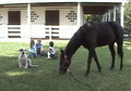 11 Yr Tennessee Walker Black Gelding Gorgeous 15.3 Hands