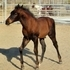 Handsome 1/2 AQHA Bay Colt
