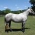 Beautiful Lipizzan Mare~Rare European Bloodlines in the US