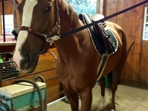 Sweet,Kind OTTB Mare Sale or Lease !!