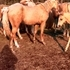 Palomino Filly For Sale
