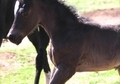 Black Arabian Gelding w/ 4 white socks