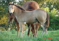 WOW factor Buckskin