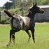 Arabian/Appaloosa Filly, Double Registered