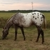 Foundation Appaloosa Mare