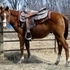 Yearling AQHA gelding / Dakota 50-50 futurity colt by AQHA Champion