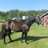 Arab\QH 2 year old mare