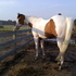 Flashy Athletic Paint Mare 1/2 Lease