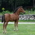 Very athletic Lusitano/AQHA cross!
