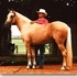 Reserve National Champion Palomino Paso Fino Stallion