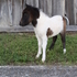 Black and white miniature colt for sale