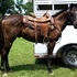 FUN QUARTER HORSE GELDING, GREAT ON TRAILS