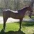 2005 AQHA gelding incentive fund-motivated seller video avail.