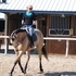 youth safe AQHA Buckskin mare hunter/dressage