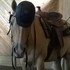 Flashy, Palomino Show Gelding,Hollywood Dun It. English, Dressage, Western, Trails rides !!!