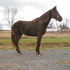 Registered Chocolate Rocky Mountain Horse for sale