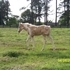 2014 APHA Tobiano Palomino Filly by Flying Storm Kite