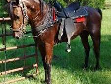 Racking horse for sale